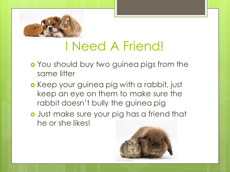 I Need A Friend! You should buy two guinea pigs from the same litter
