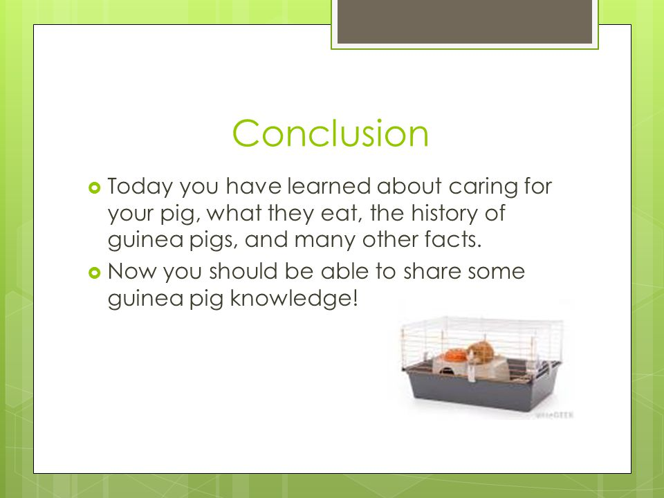Conclusion Today you have learned about caring for your pig, what they eat, the history of guinea pigs, and many other facts.