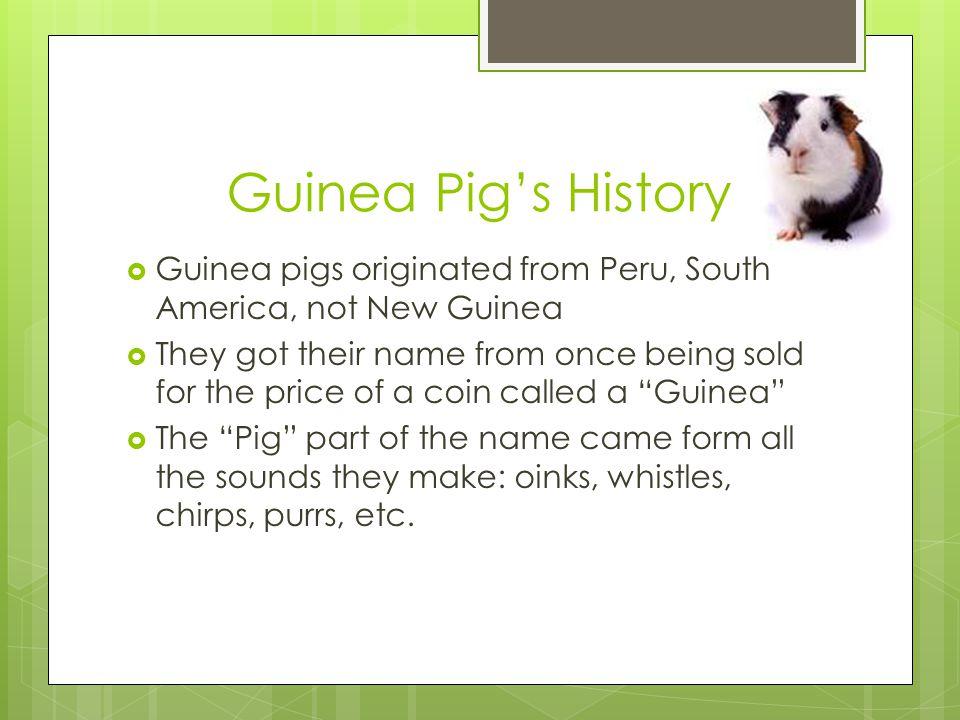 Guinea Pig's History Guinea pigs originated from Peru, South America, not New Guinea.