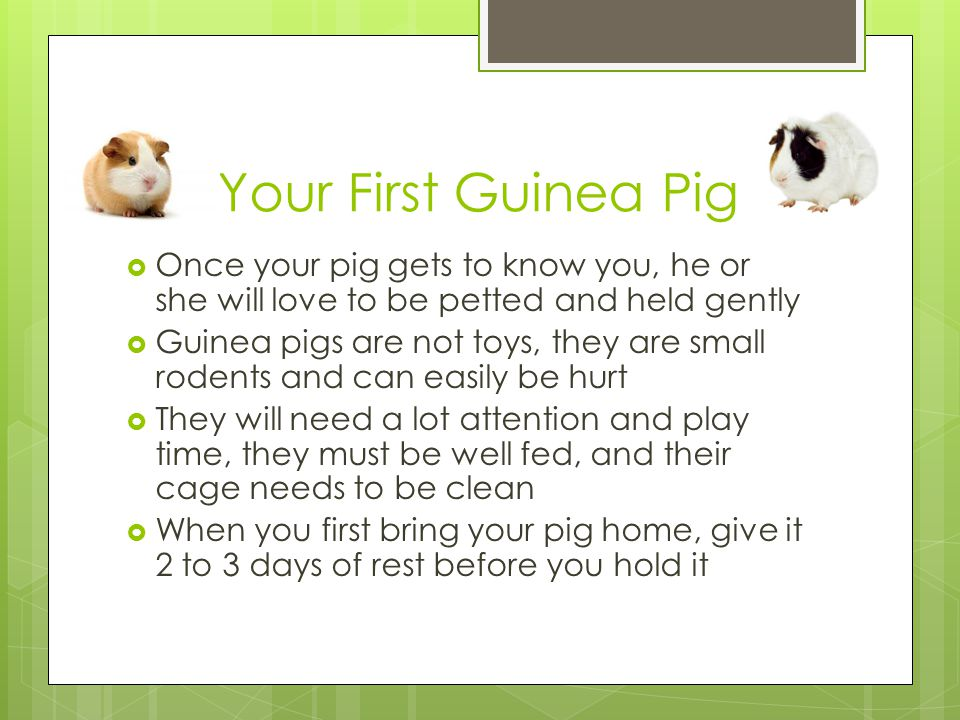 Your First Guinea Pig Once your pig gets to know you, he or she will love to be petted and held gently.