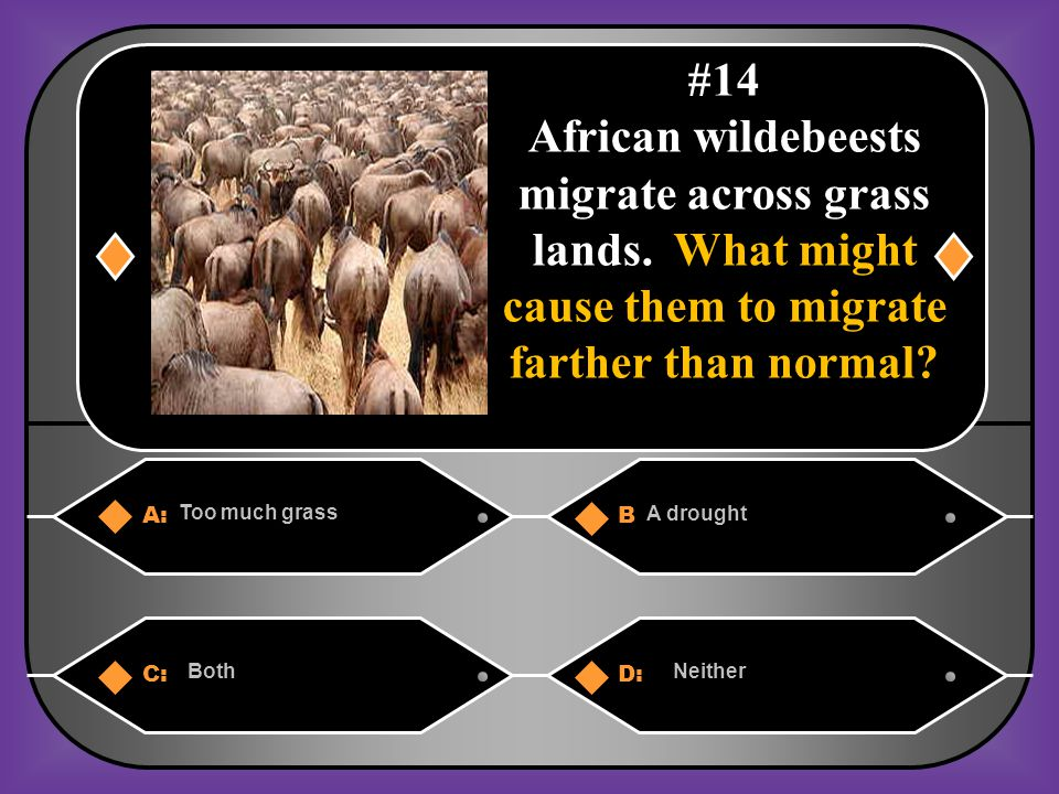 #14 African wildebeests migrate across grass lands. What might cause them to migrate farther than normal