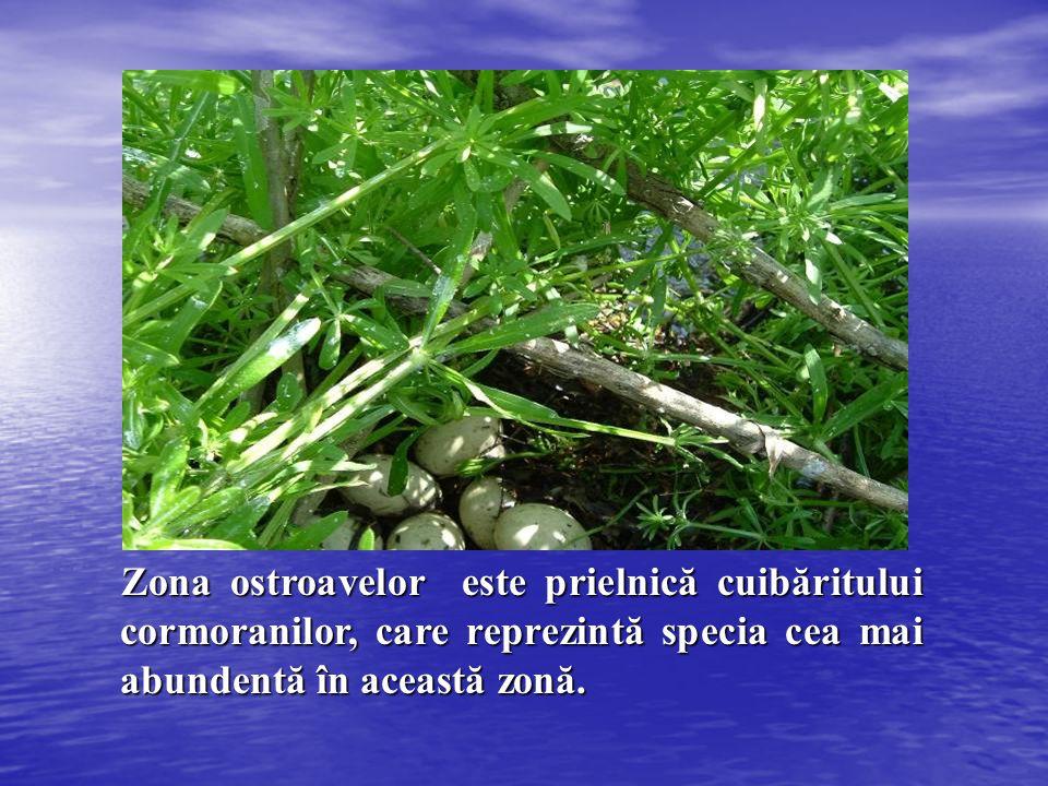 Zona ostroavelor este prielnică cuibăritului cormoranilor, care reprezintă specia cea mai abundentă în această zonă.