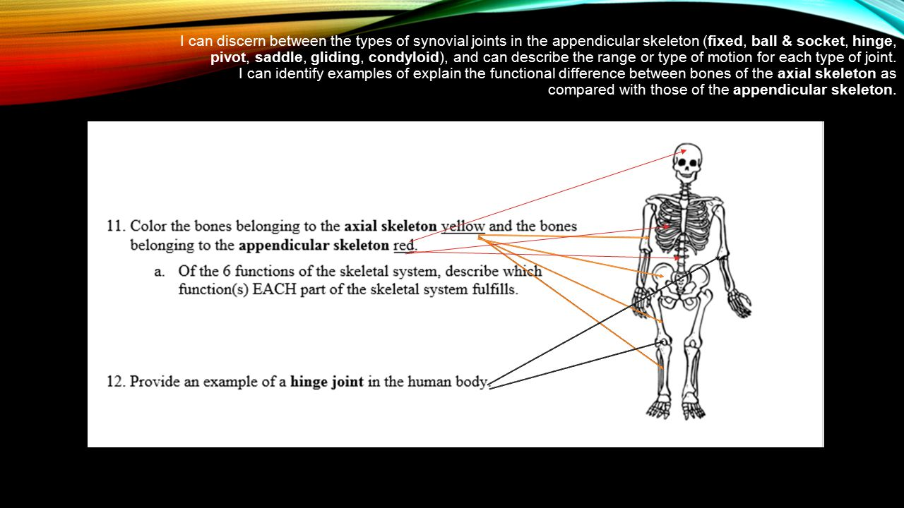 I can discern between the types of synovial joints in the appendicular skeleton (fixed, ball & socket, hinge, pivot, saddle, gliding, condyloid), and can describe the range or type of motion for each type of joint.