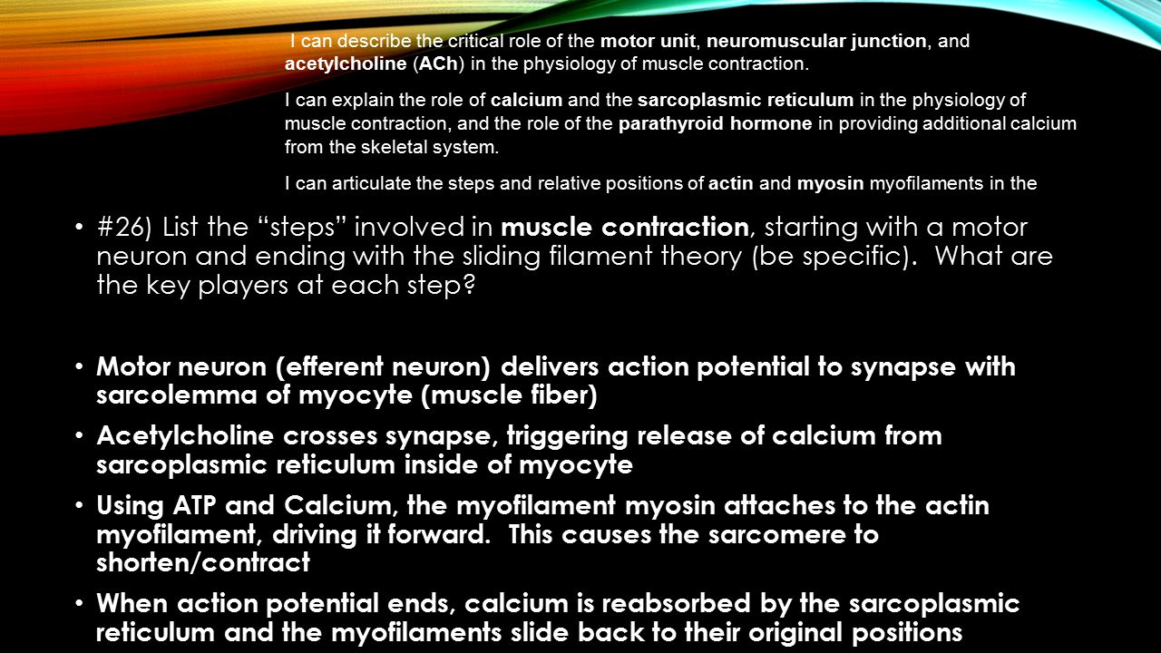 I can describe the critical role of the motor unit, neuromuscular junction, and acetylcholine (ACh) in the physiology of muscle contraction. I can explain the role of calcium and the sarcoplasmic reticulum in the physiology of muscle contraction, and the role of the parathyroid hormone in providing additional calcium from the skeletal system. I can articulate the steps and relative positions of actin and myosin myofilaments in the sliding filament theory.
