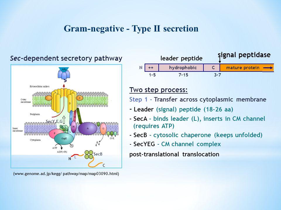 Gram-negative - Type II secretion