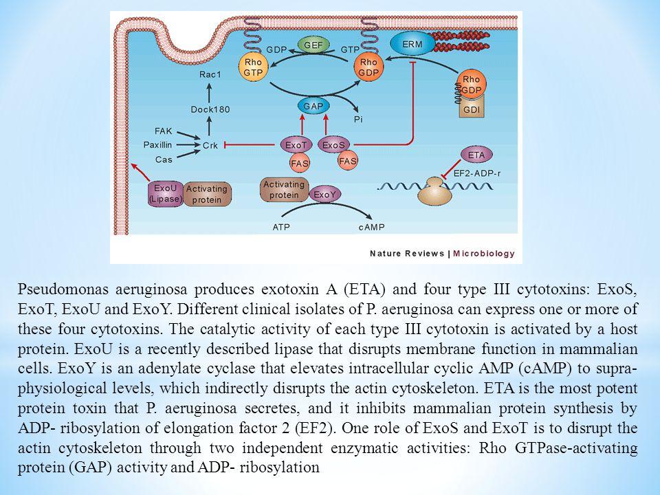 Pseudomonas aeruginosa produces exotoxin A (ETA) and four type III cytotoxins: ExoS, ExoT, ExoU and ExoY.