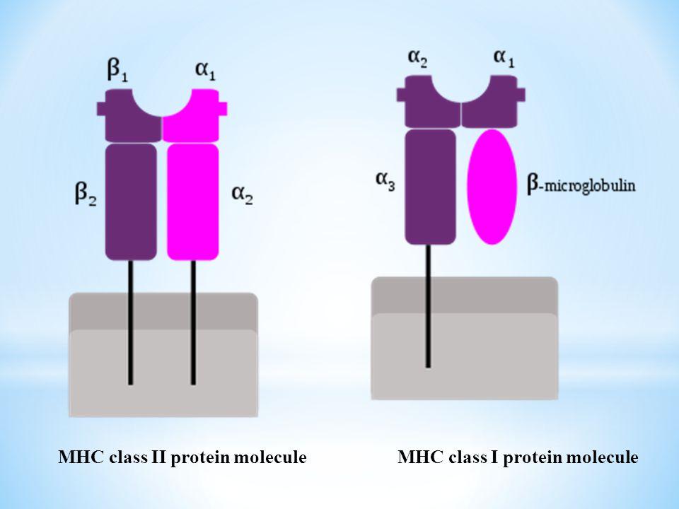 MHC class II protein molecule