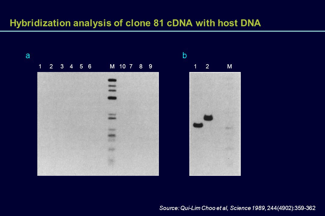 Hybridization analysis of clone 81 cDNA with host DNA