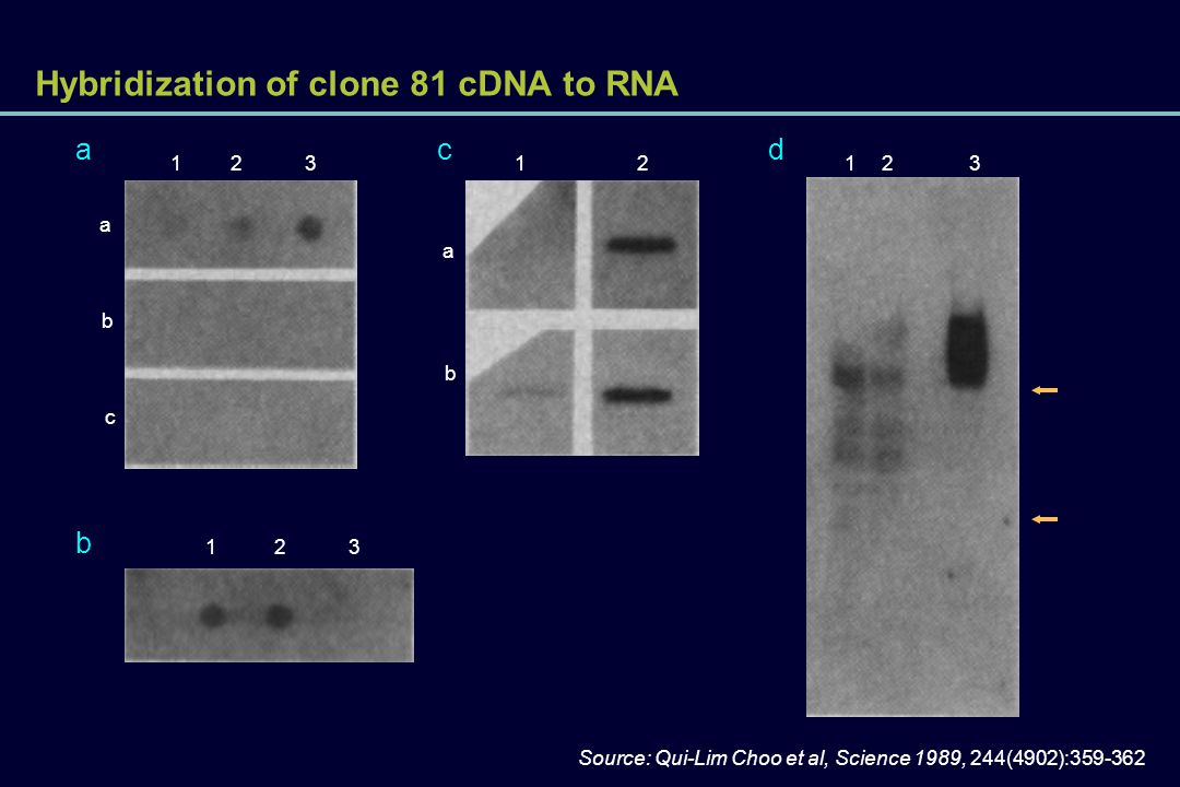 Hybridization of clone 81 cDNA to RNA