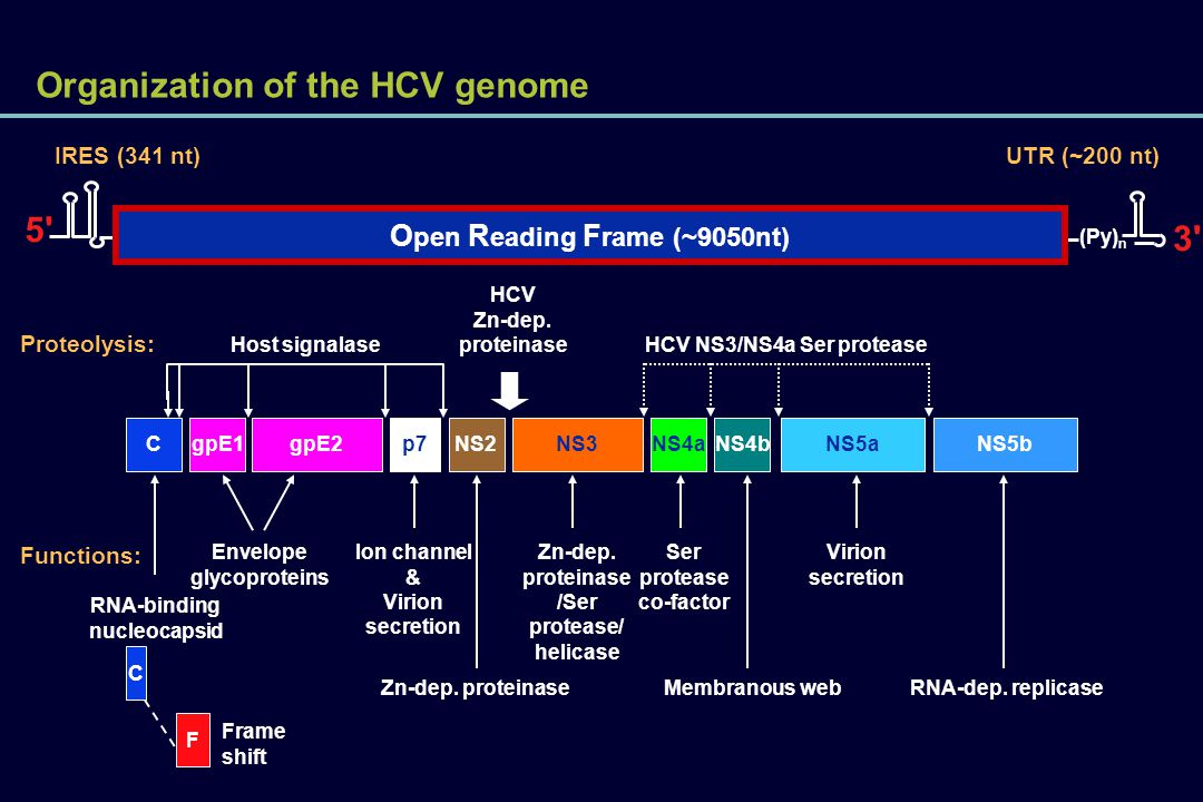 Organization of the HCV genome