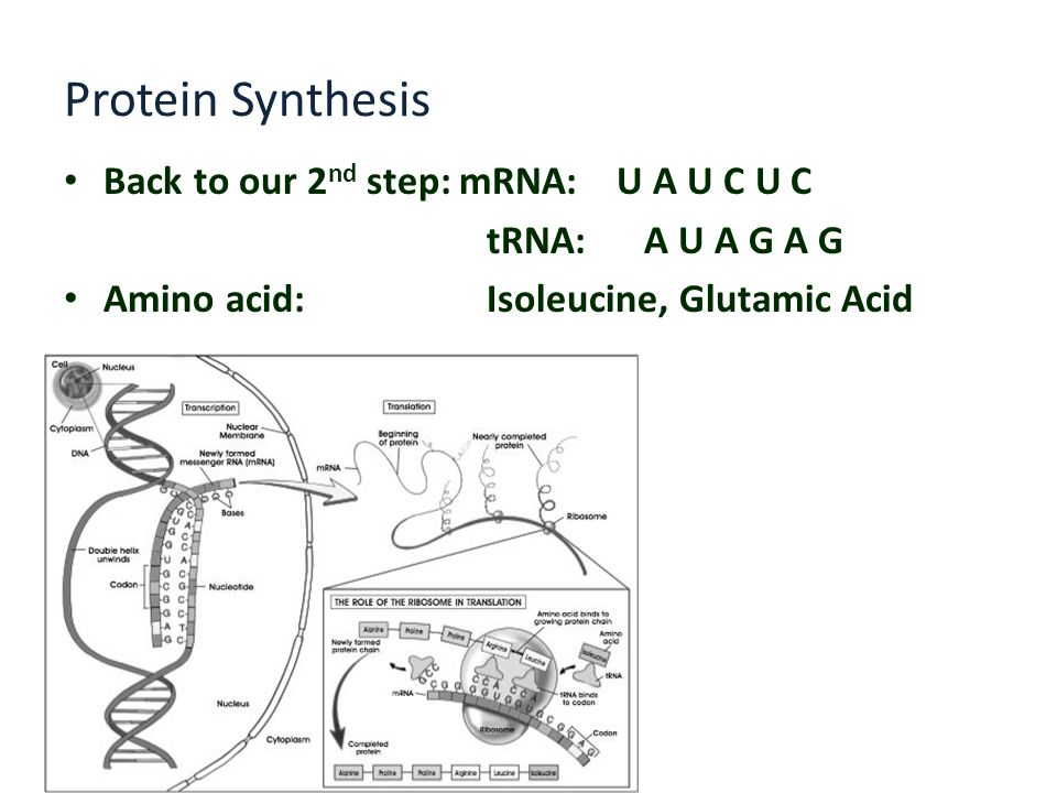 Protein Synthesis Back to our 2nd step: mRNA: U A U C U C