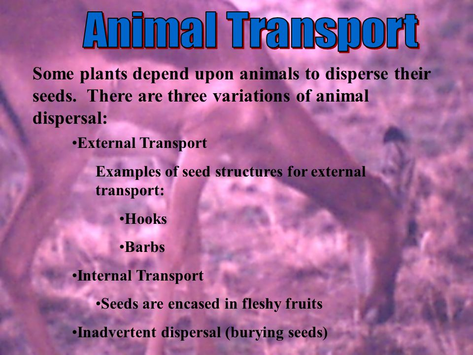 Animal Transport Some plants depend upon animals to disperse their seeds. There are three variations of animal dispersal: