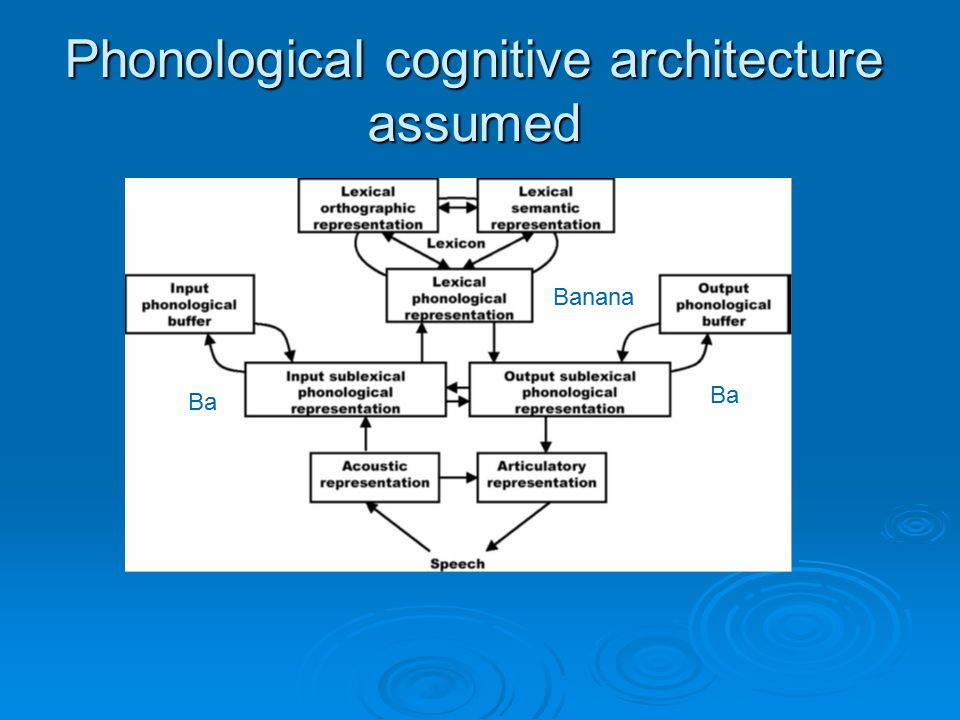 Phonological cognitive architecture assumed