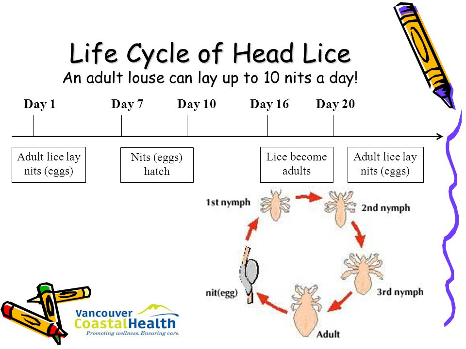 Life Cycle of Head Lice An adult louse can lay up to 10 nits a day!