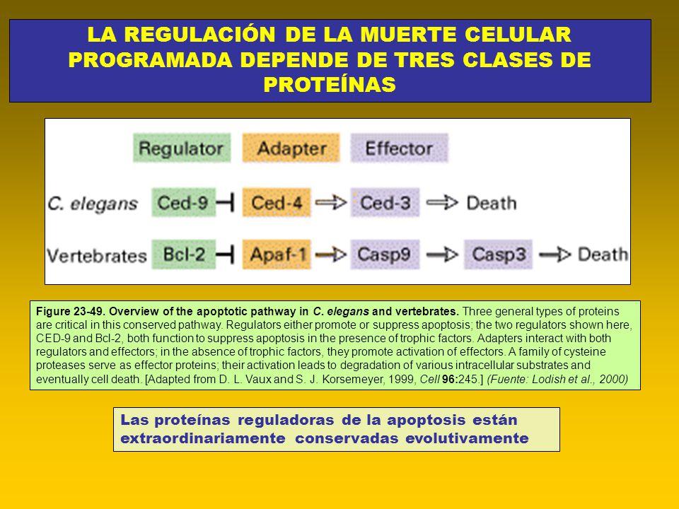 LA REGULACIÓN DE LA MUERTE CELULAR PROGRAMADA DEPENDE DE TRES CLASES DE PROTEÍNAS