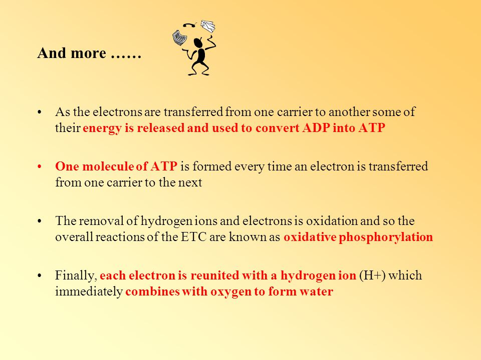 And more …… As the electrons are transferred from one carrier to another some of their energy is released and used to convert ADP into ATP.
