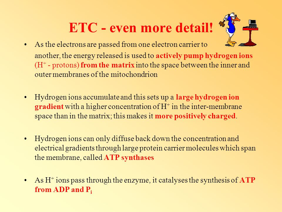 ETC - even more detail! As the electrons are passed from one electron carrier to.
