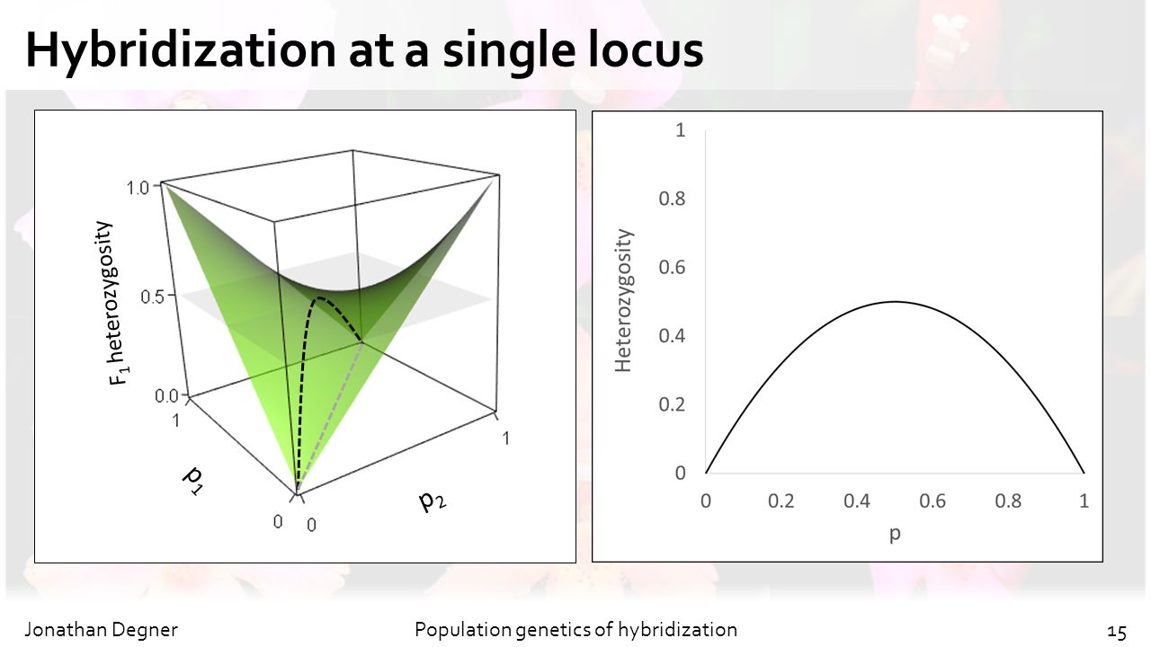Hybridization at a single locus