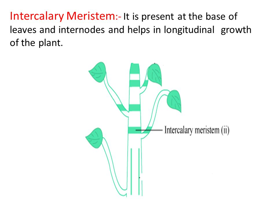 Intercalary Meristem:- It is present at the base of leaves and internodes and helps in longitudinal growth of the plant.