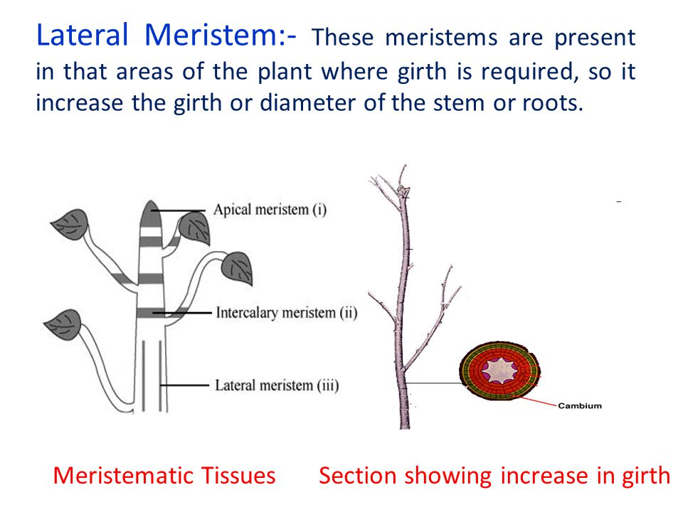 Lateral Meristem:- These meristems are present in that areas of the plant where girth is required, so it increase the girth or diameter of the stem or roots.