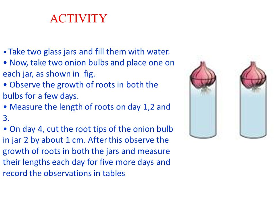 ACTIVITY • Take two glass jars and fill them with water. • Now, take two onion bulbs and place one on each jar, as shown in fig.