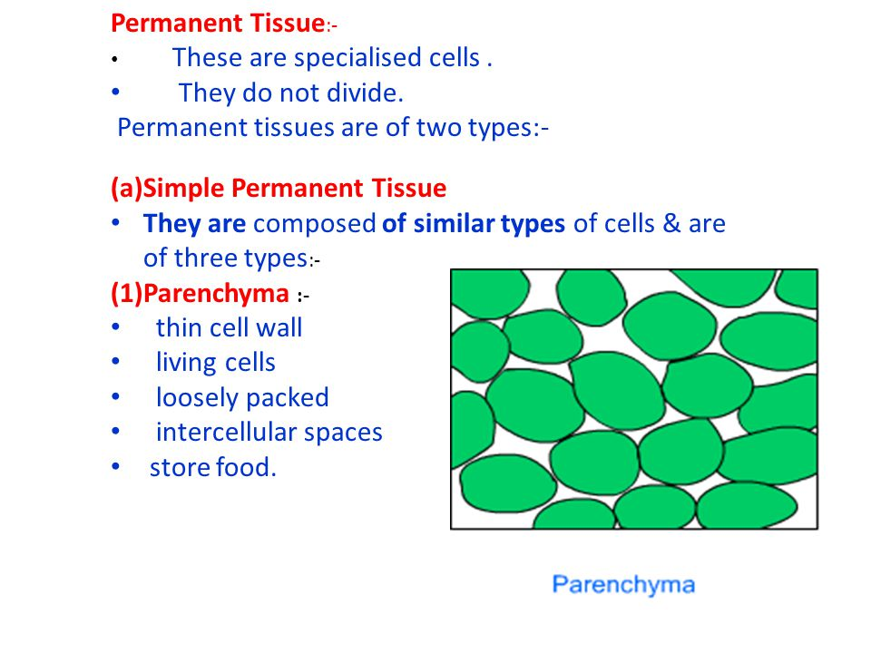 Permanent tissues are of two types:- Simple Permanent Tissue