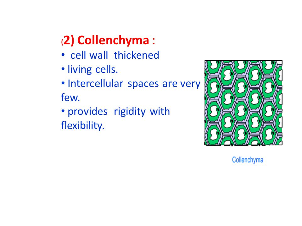 Intercellular spaces are very few. provides rigidity with flexibility.