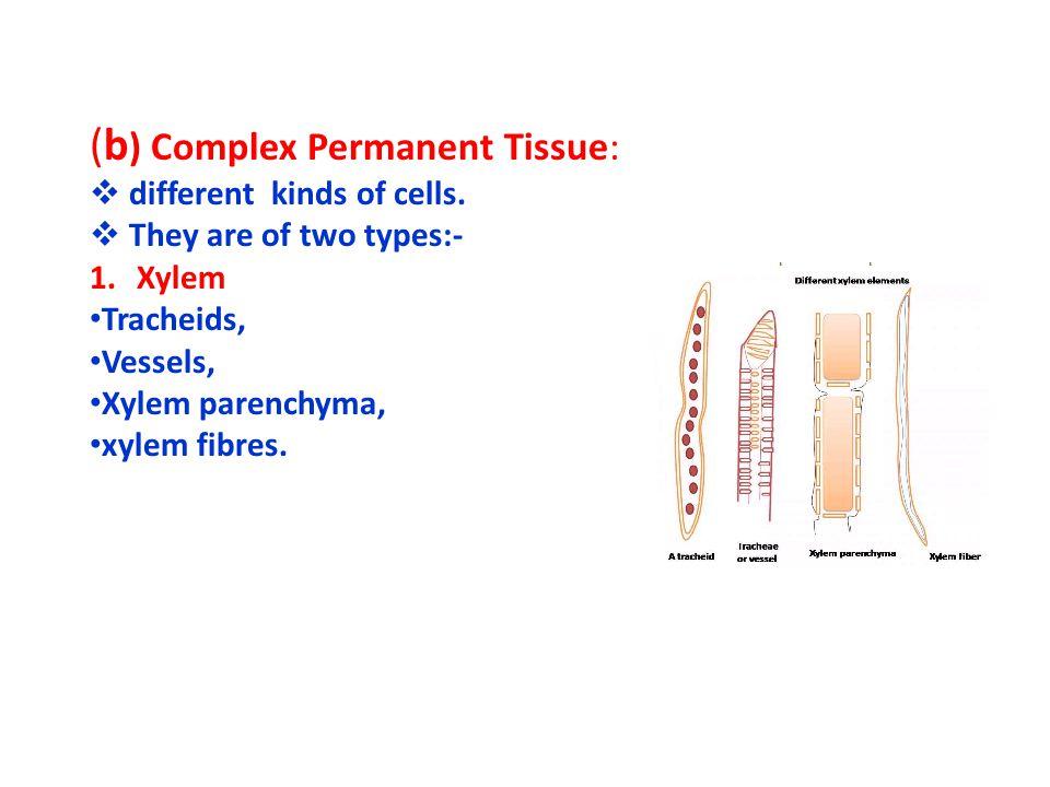 (b) Complex Permanent Tissue:
