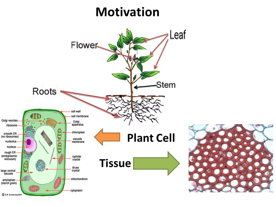 Motivation Plant Cell Tissue