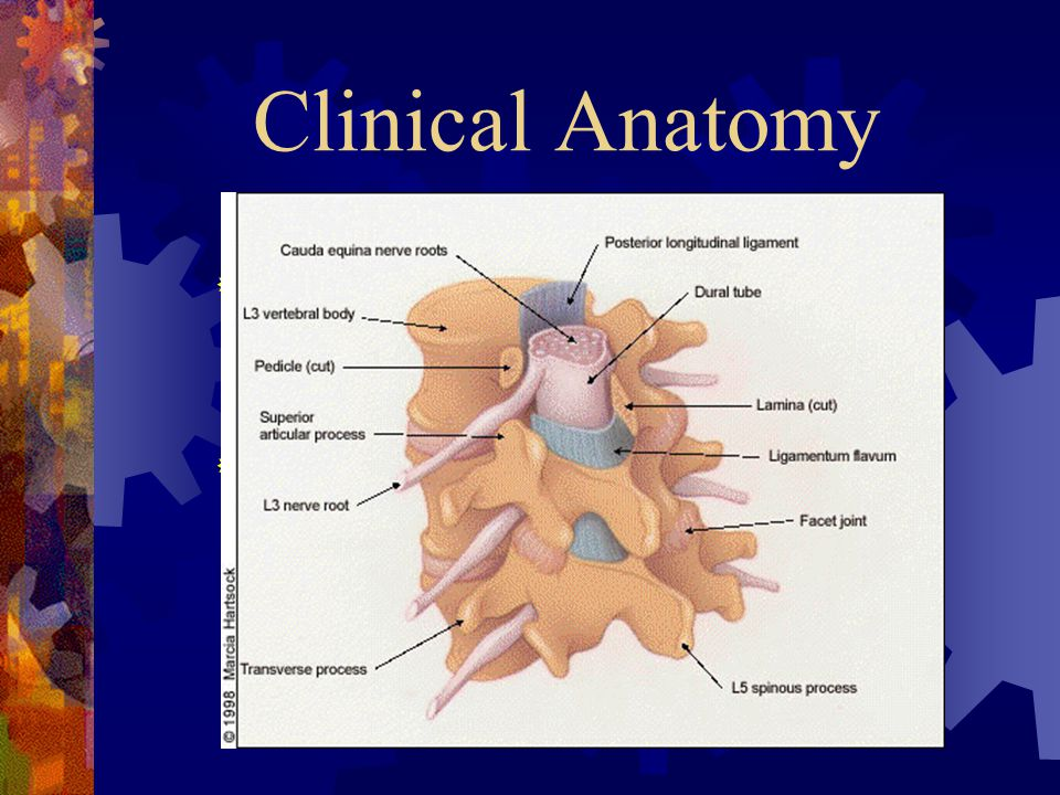 Clinical Anatomy Three joint motion complex consisting of the facets and the intervertebral disc.