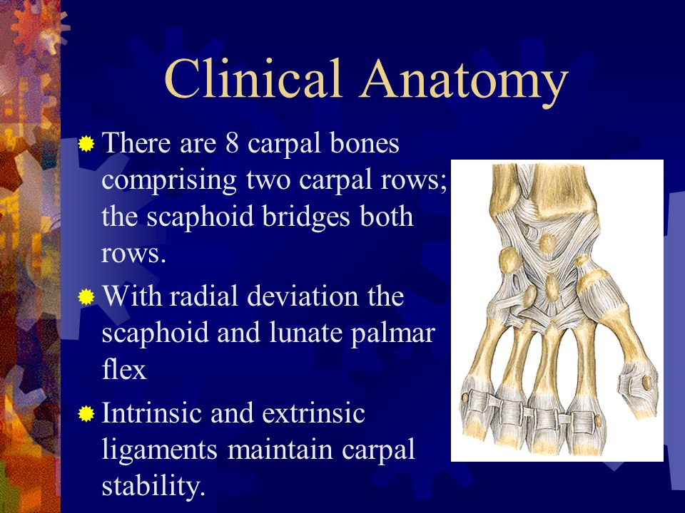 Clinical Anatomy There are 8 carpal bones comprising two carpal rows; the scaphoid bridges both rows.