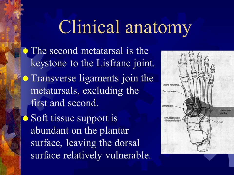 Clinical anatomy The second metatarsal is the keystone to the Lisfranc joint.