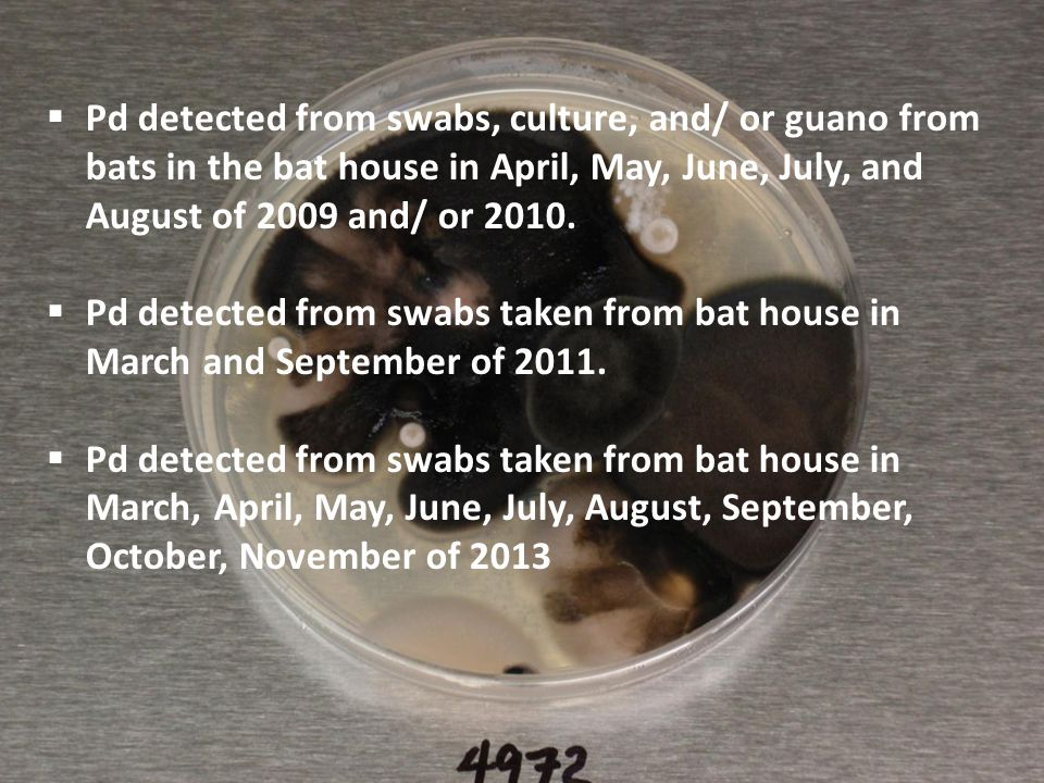 Pd detected from swabs, culture, and/ or guano from bats in the bat house in April, May, June, July, and August of 2009 and/ or 2010.