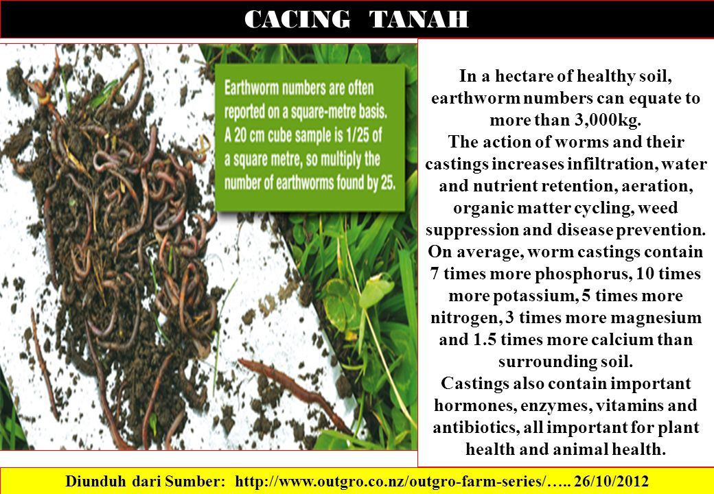 CACING TANAH In a hectare of healthy soil, earthworm numbers can equate to more than 3,000kg.