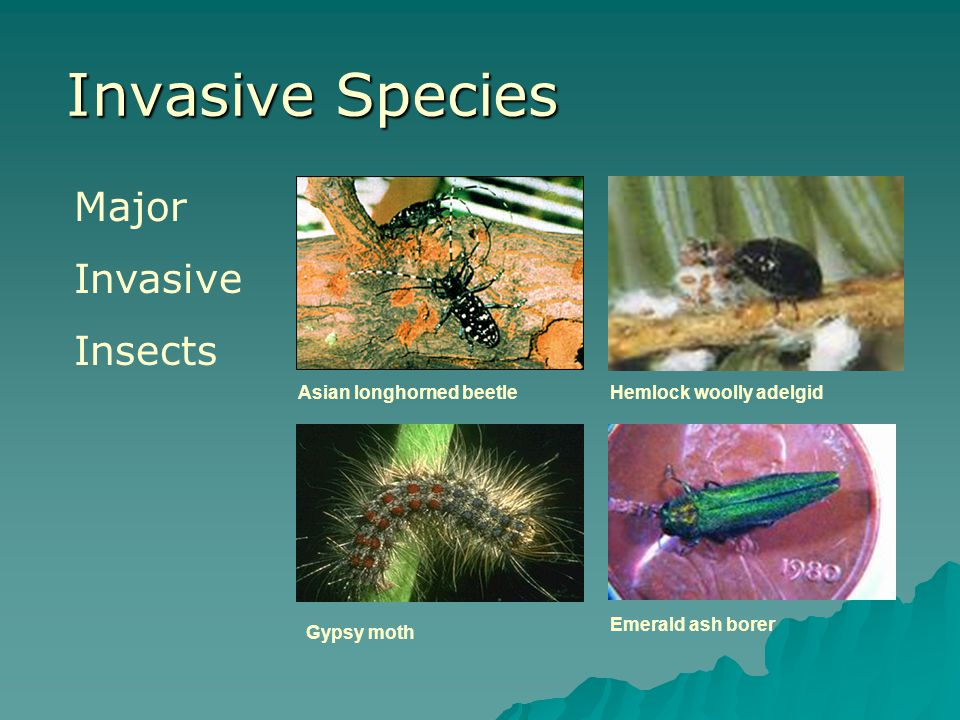 Invasive Species Major Invasive Insects