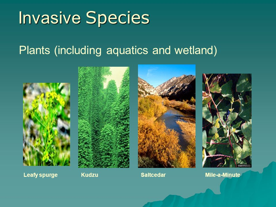 Invasive Species Plants (including aquatics and wetland) Leafy spurge