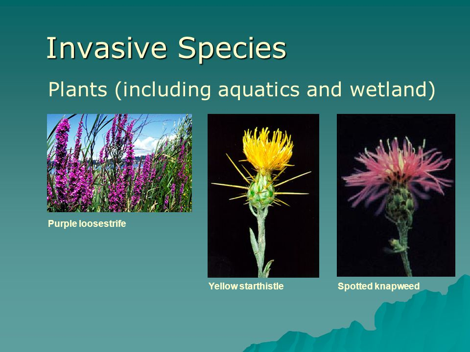 Invasive Species Plants (including aquatics and wetland)