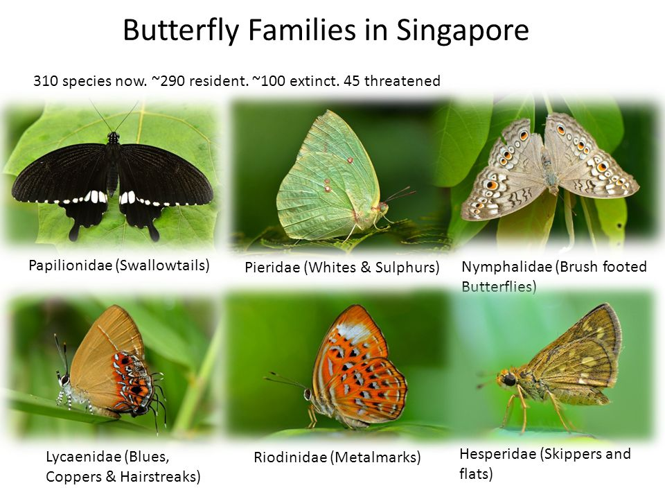 Butterfly Families in Singapore