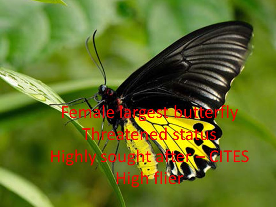 Common Birdwing Troides helena cerberus