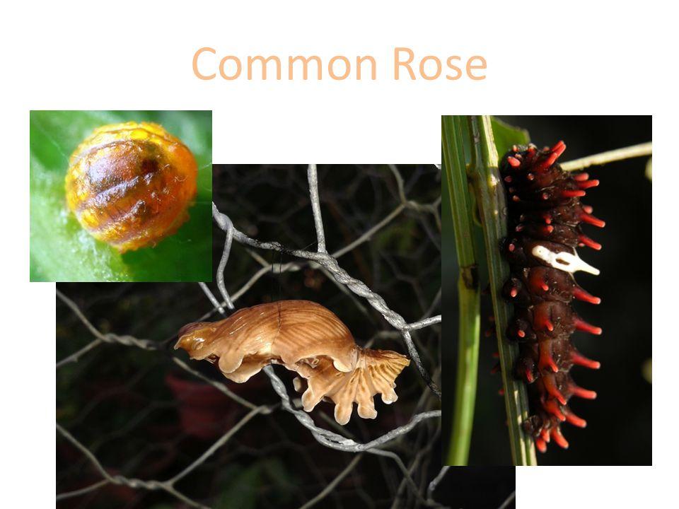 Common Rose