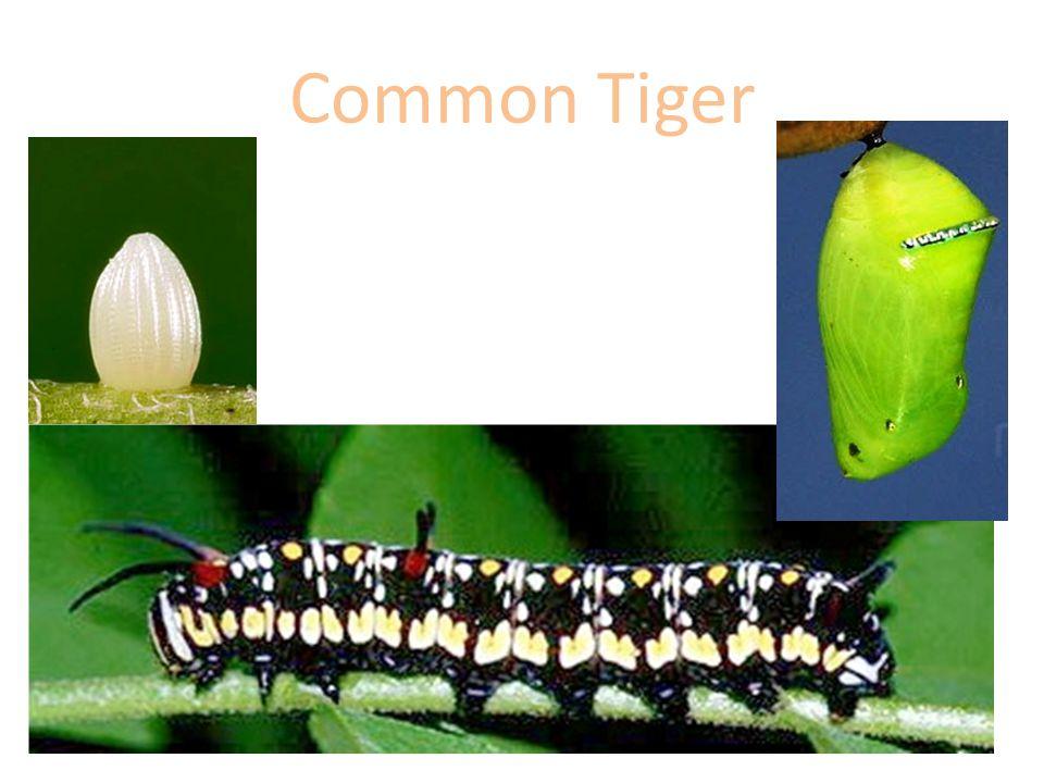 Common Tiger