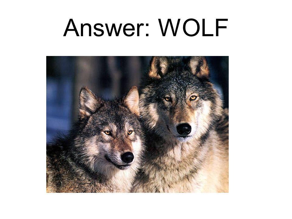 Answer: WOLF