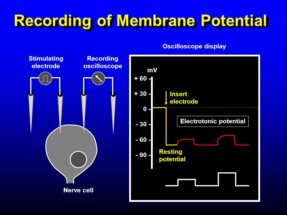 Recording of Membrane Potential