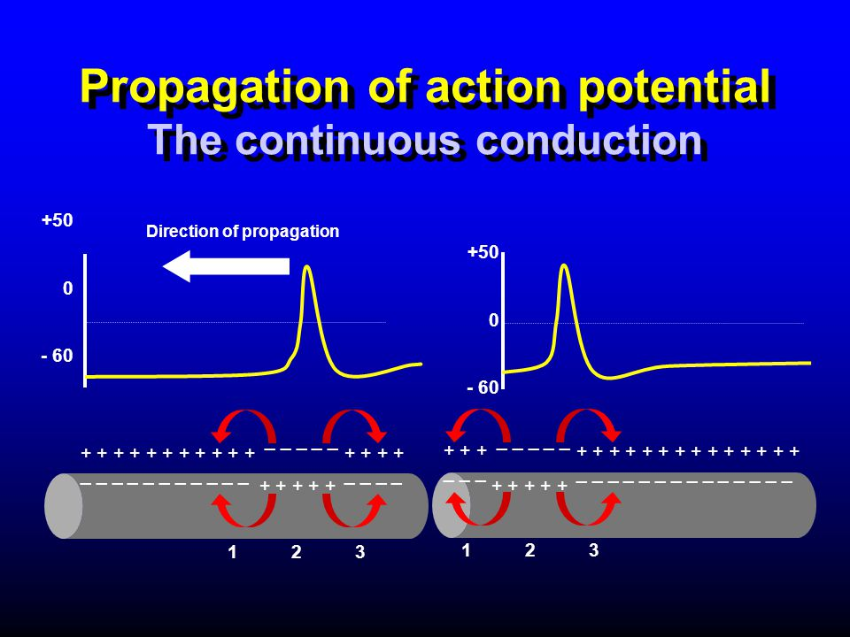 Propagation of action potential The continuous conduction