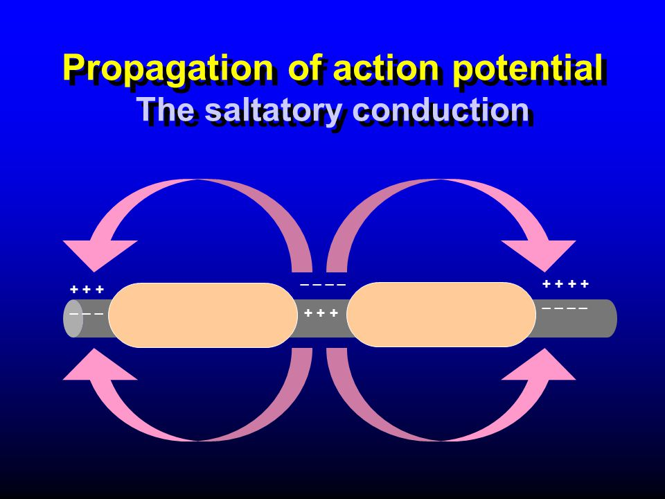 Propagation of action potential The saltatory conduction