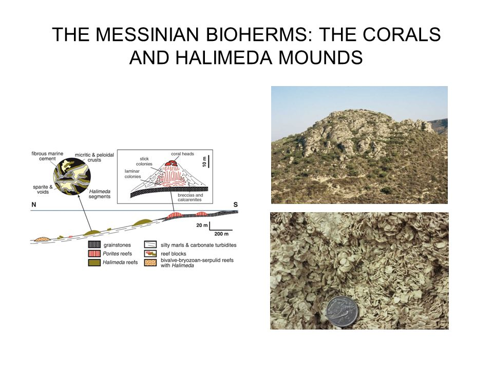THE MESSINIAN BIOHERMS: THE CORALS AND HALIMEDA MOUNDS