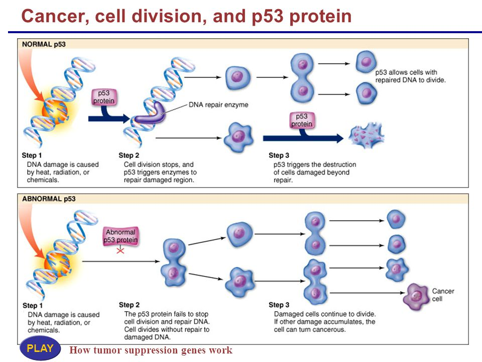 Cancer, cell division, and p53 protein