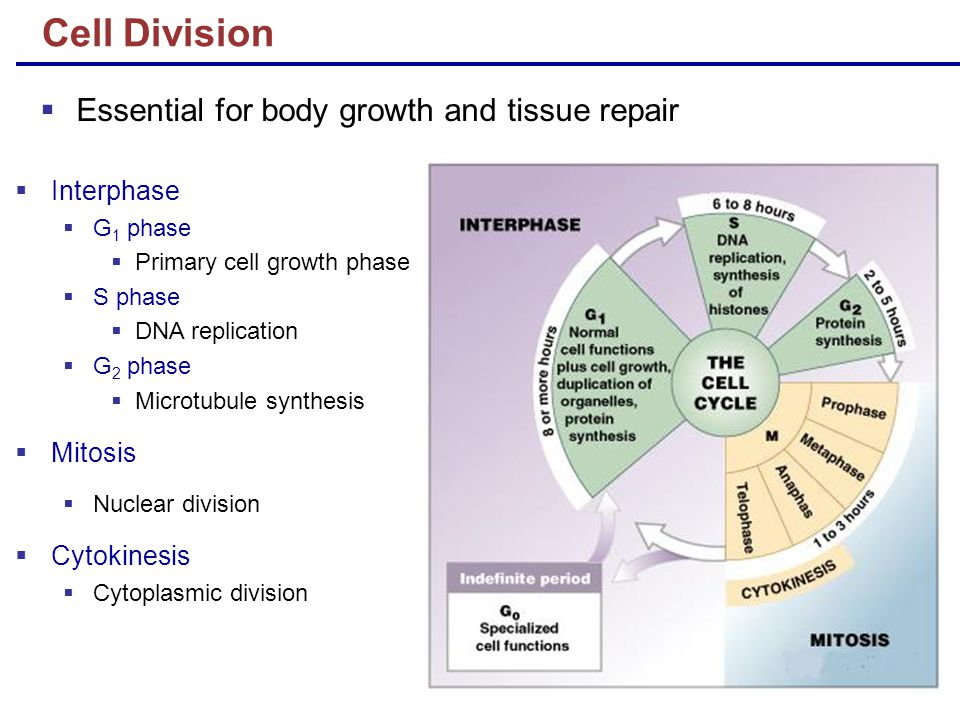 Cell Division Essential for body growth and tissue repair Interphase