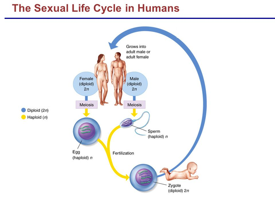 The Sexual Life Cycle in Humans