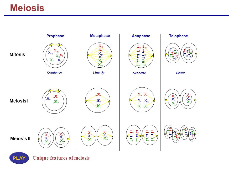 Meiosis PLAY Unique features of meiosis Mitosis Meiosis I Meiosis II